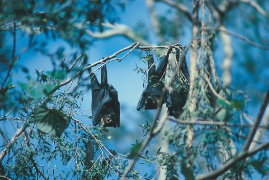 Spectacled Flying-foxes
