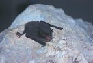 Southern Myotis on rock