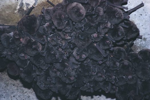 Common Bent-wing Bats at roost