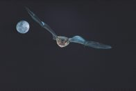 Gould's Long-eared Bat, in flight