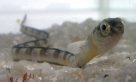 Hairtail Blenny, Juvenile
