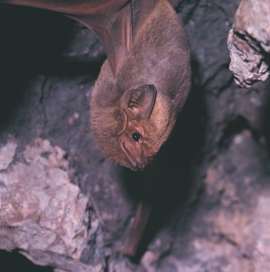 Common Sheathtail Bat, up close