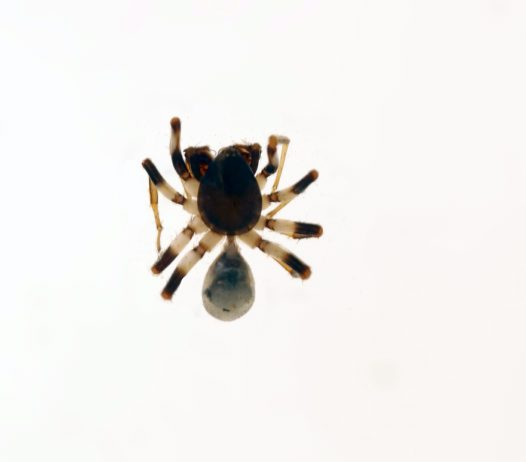 Spotted Ground Spider, specimen
