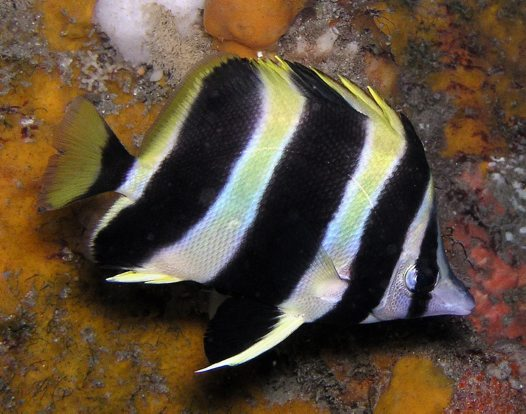 Lord Howe Butterflyfish at Tathra Wharf