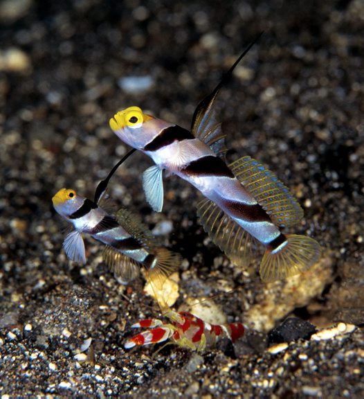 Two Yellowface Shrimpgobies