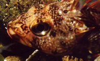 Head of a Dragonet