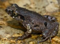 Appleby's Asian Toad Leptolalax applebyi