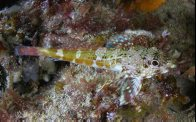 Dragonet at Edithburgh Jetty