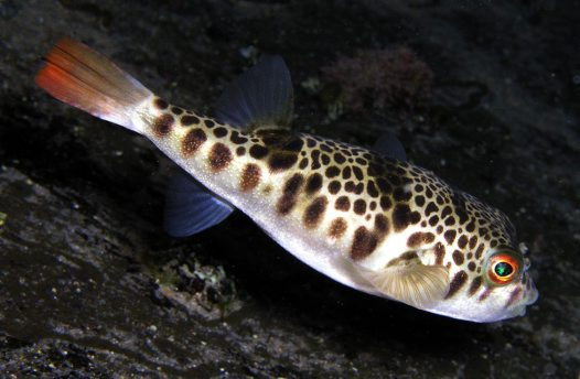 Smooth Toadfish in shallow water