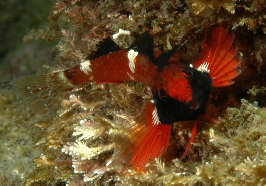 Ringscale Triplefin at 'The Pipeline'