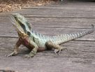 Male Eastern Water Dragon