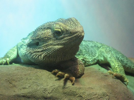 Male Central Bearded Dragon