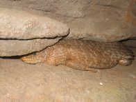 Gidgee Skink between rocks