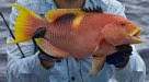 Goldspot Pigfish, Bodianus perditio