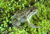 Spotted Marsh Frog on moss