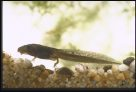 Frog life cycle - tadpole with legs