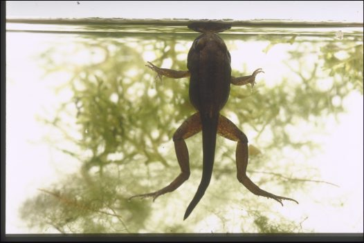Frog life cycle - morphing, legs and tail