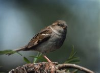 House Sparrow, female, on twig