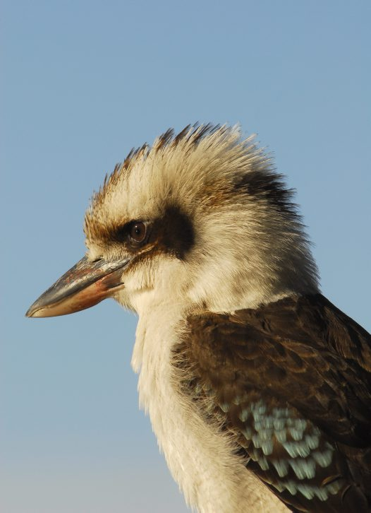 Laughing Kookaburra, close-up