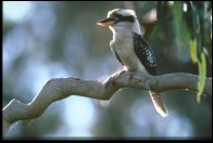 Laughing Kookaburra, on branch