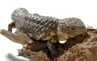 Moby the Shingleback Lizard