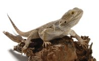 Central Bearded Dragon with white background