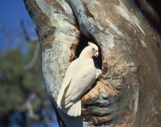 Little Corella at nest hole