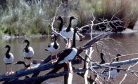 Magpie Geese on a log