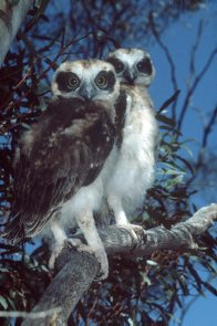 Southern Boobook Owls, a juvenile pair