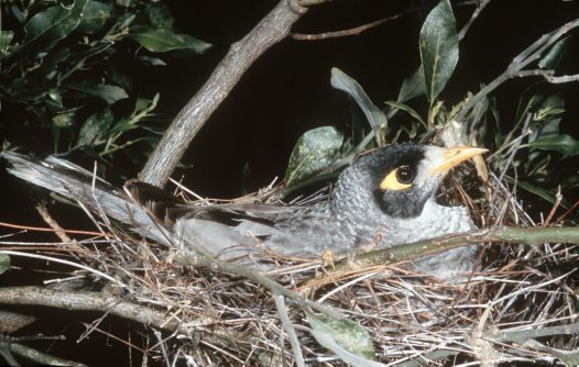 Noisy Miner in nest