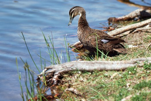 Pacific Black Duck by water