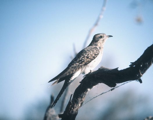 Pallid Cuckoo on branch