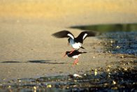 Pied Oystercatchers mating