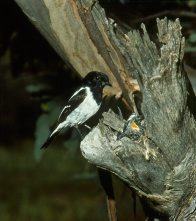 Hooded Robin at nest