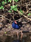 Purple Swamphen, wading