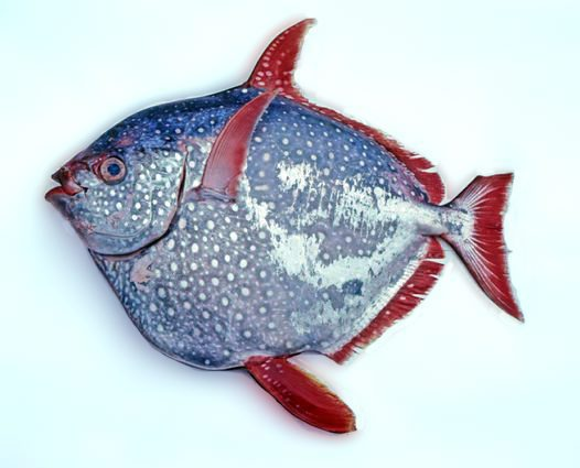 A brightly coloured Opah