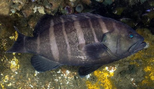 Banded Rockcod near Port Stephens