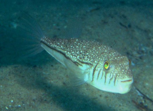 A Weeping Toadfish at Nambucca Heads