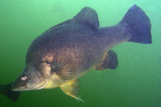 Golden Perch at Blowering Dam