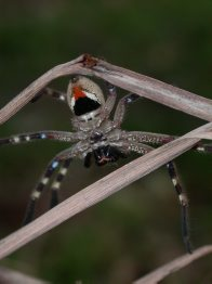 Badge Huntsman Spider on twig