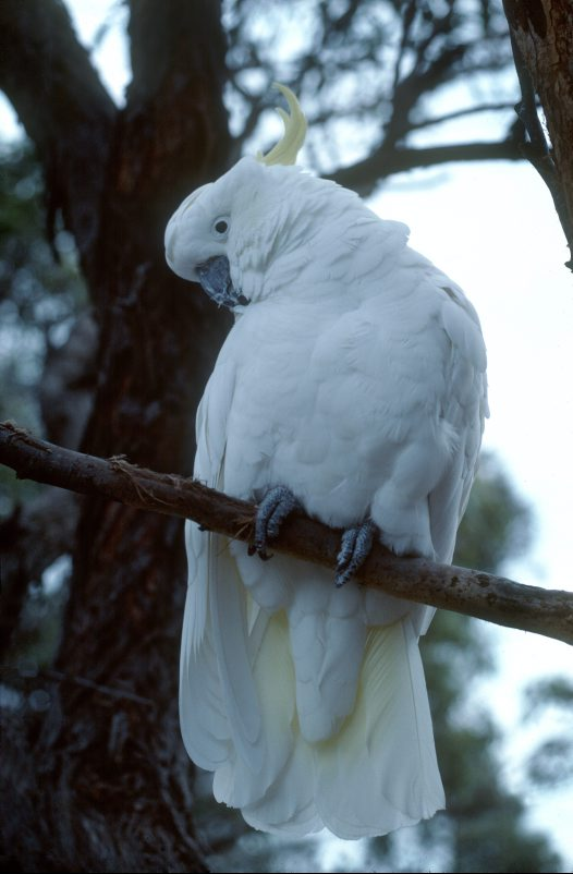 Sulphur-crested Cockatoo in tree