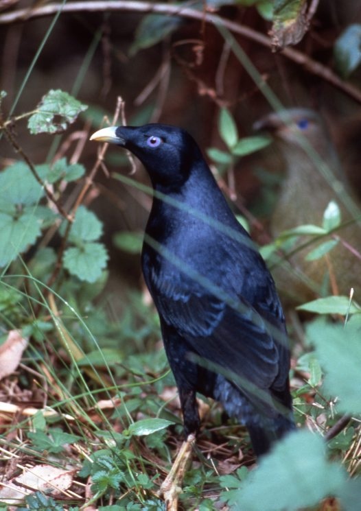 Satin Bowerbird, male