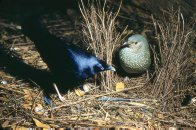 Satin Bowerbirds, male and female in bower