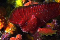 Whiskered Prowfish, Neopataecus waterhousii