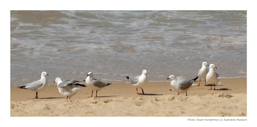 Sea gulls at Manly