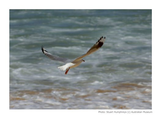 Silver Gull in flight