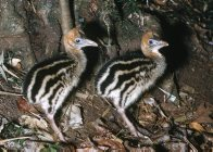 Southern Cassowary chicks