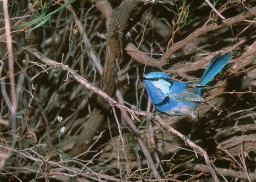 Splendid Fairy-wren, male