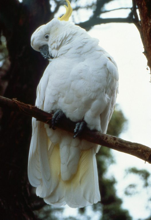 Sulphur-crested Cockatoo, on branch