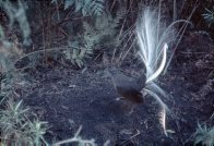 Superb Lyrebird displaying tail
